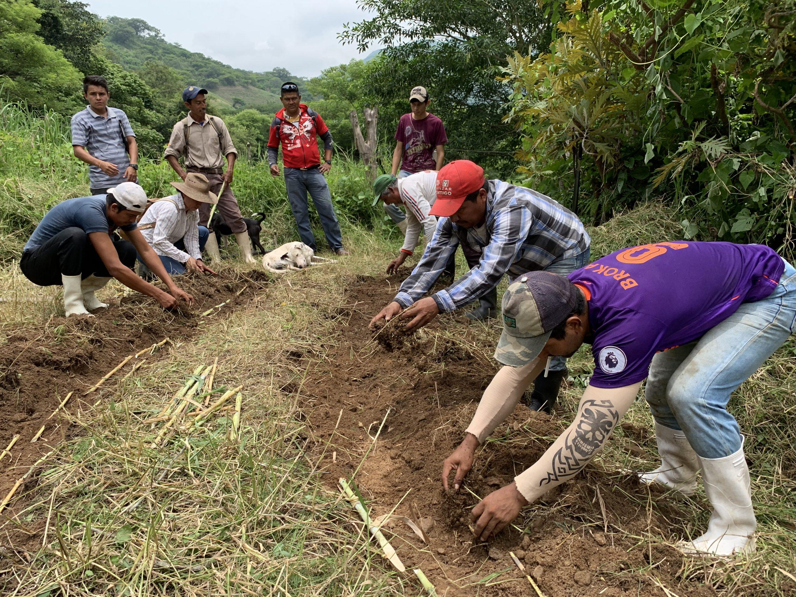 Productores ganaderos de Chiapas estableciendo un banco forrajero en Escuela de Campo. © BioPaSOS